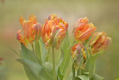 Photograph - Dreamy Parrot Tulips by Ann Bridges