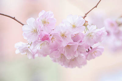 Photograph - Dreamy Pink. Spring Pastels by Jenny Rainbow