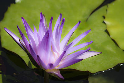 Getty Photograph - Dreamy Purple Water Lilly by Teresa Mucha