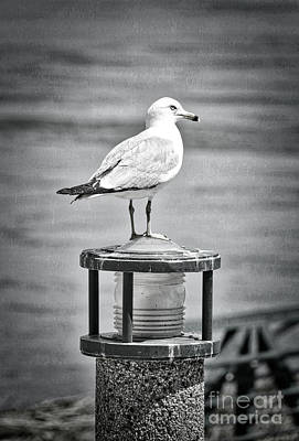 Photograph - Dreamy Seagull Black And White by Carol Groenen