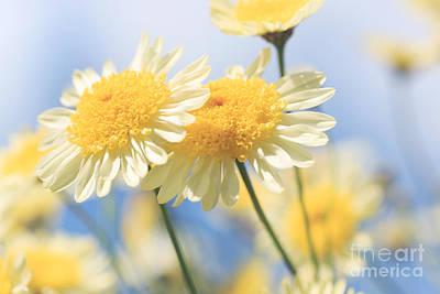 Dreamy Sunlit Marguerite Flowers Against Blue Sky Art Print