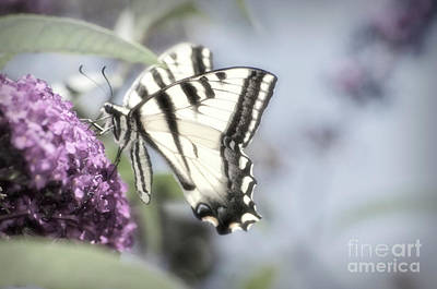Photograph - Dreamy Tiger Swallowtail by Jim And Emily Bush