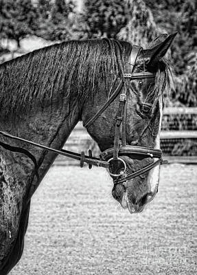 Photograph - Dressage Horse Portrait In Black And White by Jim And Emily Bush