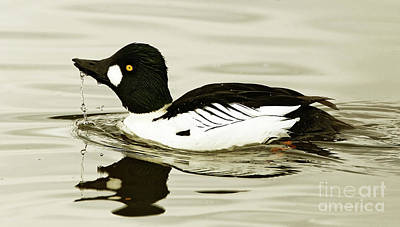 Goldeneye Photograph - Dribbling Common Goldeneye by Sue Harper