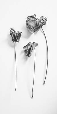 Photograph - Dried Anthurium Flower - Large Trio by Alexander Kunz
