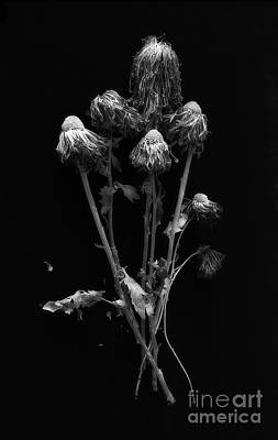 Photograph - Dried Chrysanthemums by Ann Jacobson
