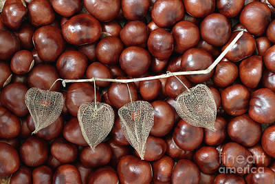 Dried Fruits Photograph - Dried Fruits Of The Cape Gooseberry And Chestnuts by Michal Boubin