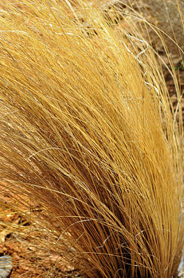 Photograph - Dried Grass by Ron Cline