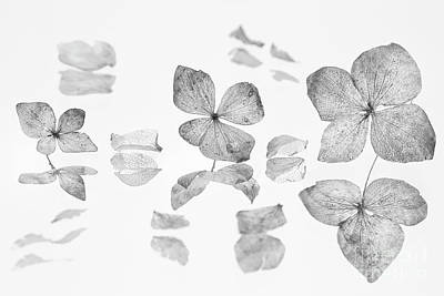 Flowers And Water Drops Wall Art - Photograph - dried Hydrangea flowers by Masako Metz