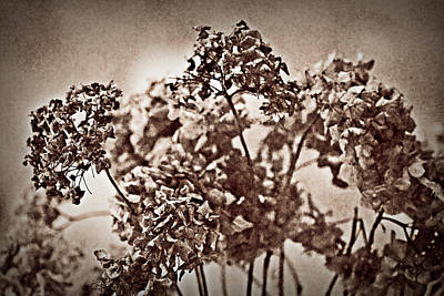Photograph - Dried Hydrangeas by  Onyonet  Photo Studios