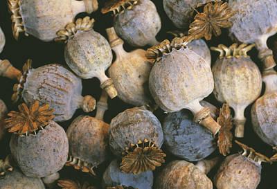 Dried Opium Poppies Art Print