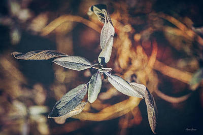 Photograph - Dried Sage by Anna Louise