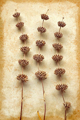 Photograph - Dried Sage by Colleen Farrell