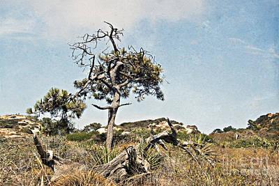 Photograph - Dried Torrey Pine by Gabriele Pomykaj
