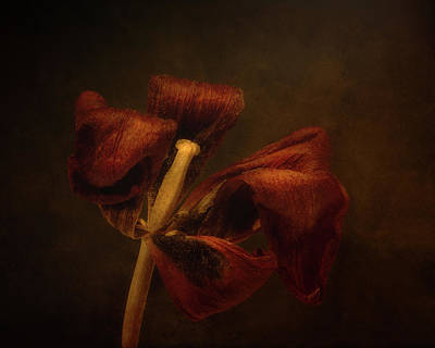 Israeli Flag - Dried Tulip Blossom 2 by Scott Norris