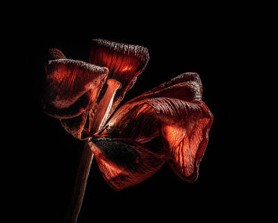 Maps Maps And More Maps - Dried Tulip Blossom by Scott Norris