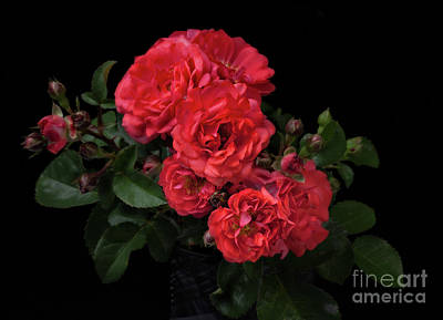 Photograph - Drift Roses by Ann Jacobson