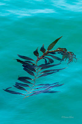 Photograph - Drifting Giant Kelp by Deana Glenz