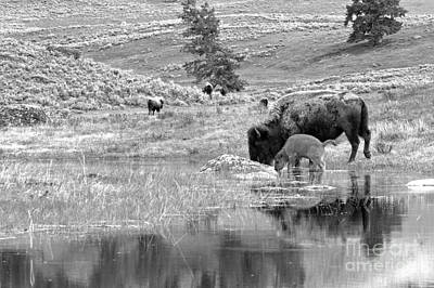 Photograph - Drinking Apart From The Herd Black And White by Adam Jewell