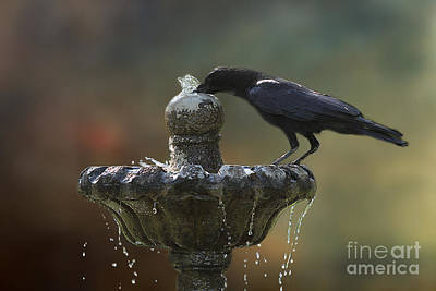 Photograph - Drinking Crow by Clare VanderVeen