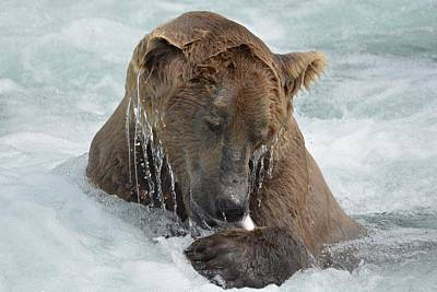Photograph - Dripping Grizzly Bear by Patricia Twardzik