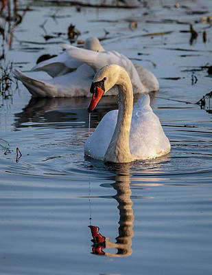 Photograph - Dripping Swan by Jim Gillen