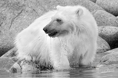 Photograph - Dripping Wet Polar Bear by Lee Adler