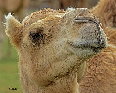 Digital Art - Dromedary Or Arabian Camel by Larry Linton