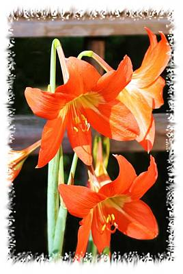 Photograph - Drooping Blooms Of Orange by Ellen Barron O'Reilly