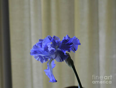 Photograph - Drooping Purple Iris by Ruth Housley