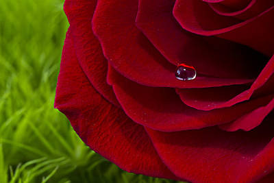 Photograph - Drop On A Rose by Marlo Horne