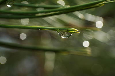 Pine Needles Photograph - Droplet by Jeff Swan