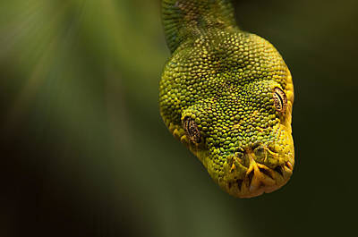 Dropping In - Emerald Tree Boa Print by Mitch Spence