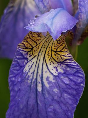 Photograph - Drops On Blue Iris by Inge Riis McDonald