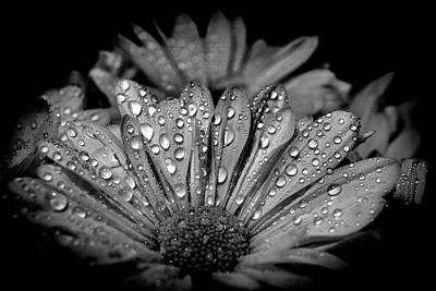 Photograph - Drops On Daisy Flower by Lilia D