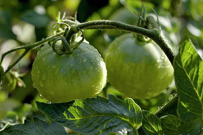 Drops On Immature Green Tomatoes After A Rain Shower Art Print by Sami Sarkis