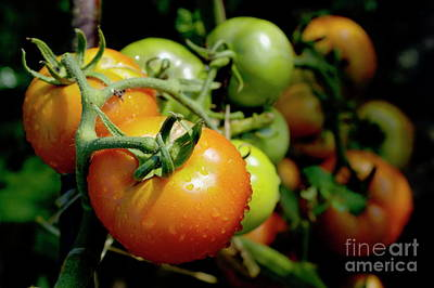 Drops On Immature Red And Green Tomato Art Print by Sami Sarkis