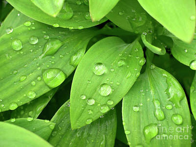 Rain Droplet Photograph - Drops On Leaves by Carlos Caetano