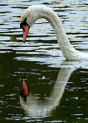 Photograph - Drought Mutes This Swan's Song by Lori Pessin Lafargue