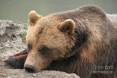 Photograph - Drowsy Grizzly by Frank Townsley