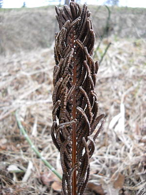 Photograph - Dry Fern Stem After Winter by Kent Lorentzen