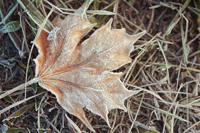Photograph - Dry Frosted Maple Leaf  by Jenny Rainbow