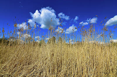 Cusworth Photograph - Dry Reeds Grass by Robert Chlopas
