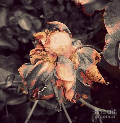 Photograph - Dry Rose by Erika H