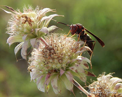 Photograph - Dry Thistles Brown Paper Wasp #6363 by Barbara Tristan