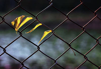 Photograph - Dry Yellow Leaves Hanging On Metal Fence by Prakash Ghai