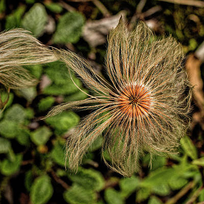 Photograph - Dryas by Fred Denner