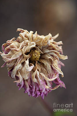 Photograph - Drying And Aged Dahlia by Joy Watson