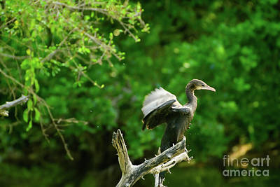 Photograph - Drying Indian Cormorant by Venura Herath