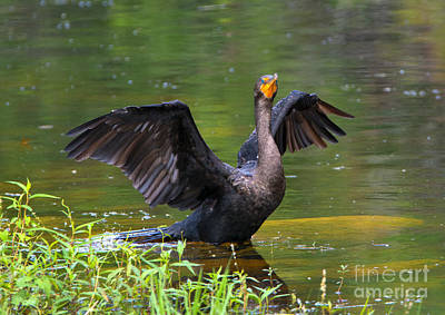 Cormorant Photograph - Drying Time by Mike Dawson
